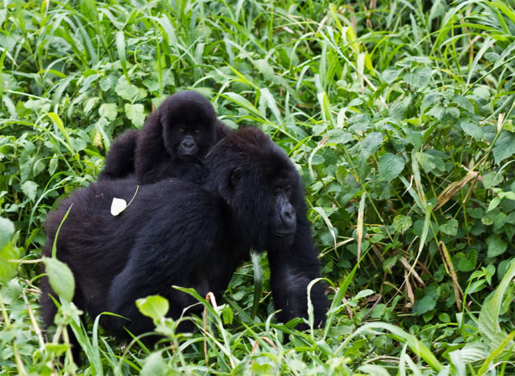 Budget Gorilla Trekking Uganda Safari Tour Cheap