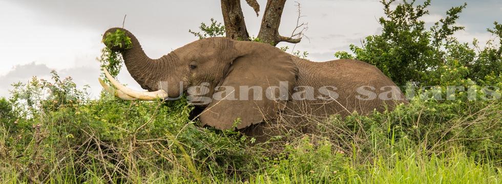 elephants-uganda-safaris