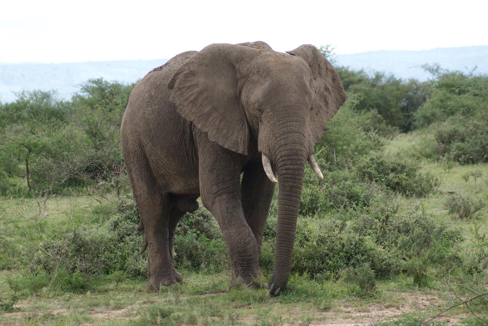 elephants -uganda