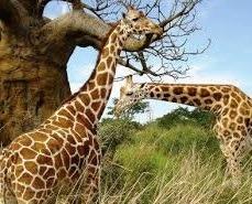 girafe at kidepo valley national park