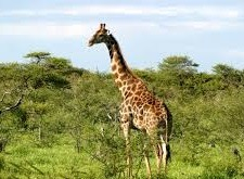 girafes in lake mburo-safaris to uganda