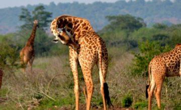 18 Days Uganda Gorilla Safari