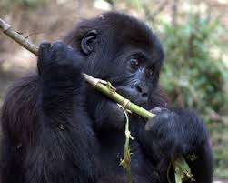 gorilla feeding