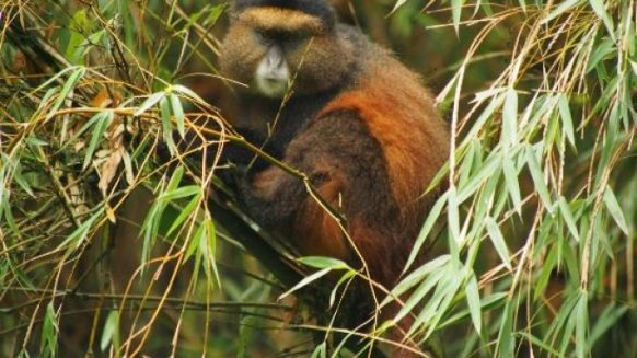 golden monkey in Mgahinga np