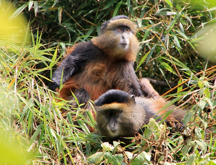 Golden Monkey Trekking in Mgahinga Gorilla National Park – Uganda Safari News