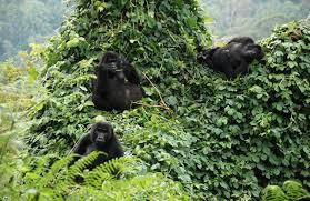 goriilla safaris in uganda