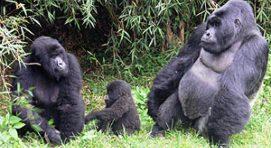 Uganda Safaris - Gorillas