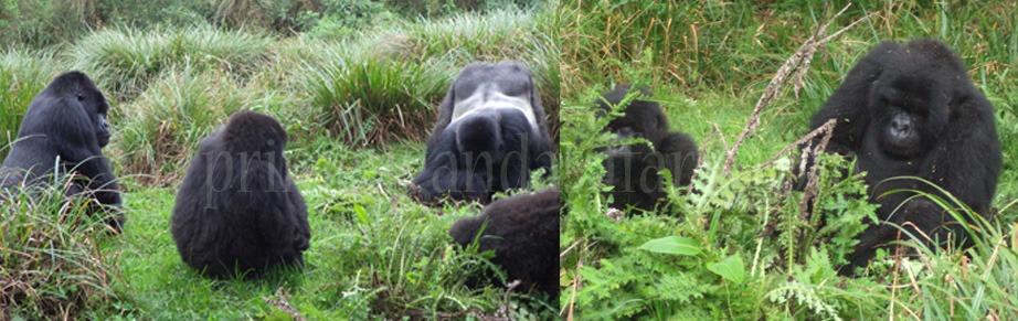 gorilla-families-rwanda