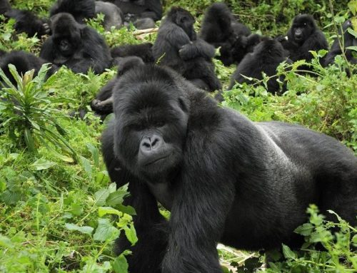 UGANDA INCREASES NUMBER OF GORILLA TREKKING PERMITS