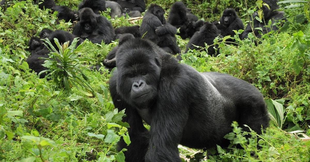 UGANDA INCREASES NUMBER OF GORILLA TREKKING PERMITS