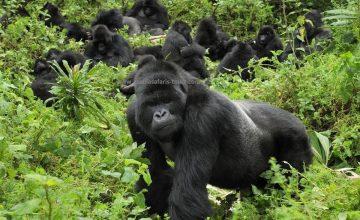 gorilla-family-mgahinga