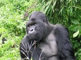 gorilla image