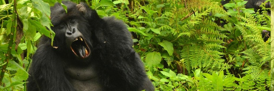 gorilla-in-volcanoes-rwanda