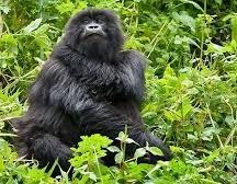 gorilla permits in may