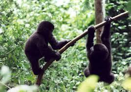 gorilla-permits