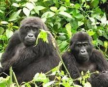 gorilla permits