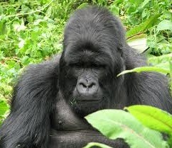 gorilla safari-image