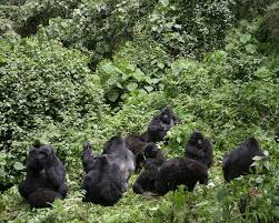 gorilla safaris in Uganda , gorilla safaris , wildlife safaris