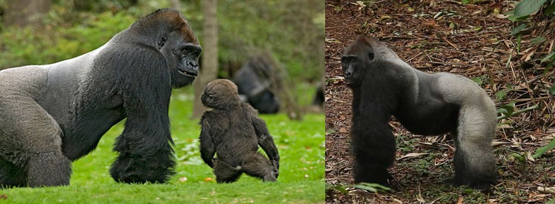 gorilla-safaris-in-congo