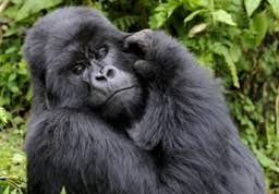 gorilla safaris in uganda and safari tours