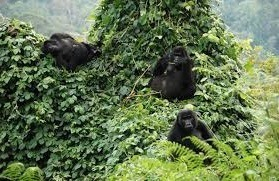 gorilla-safaris-in-uganda1