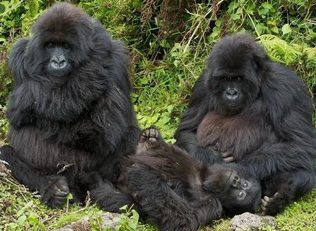 moutain gorillas