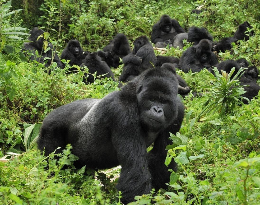 gorilla safaris to uganda