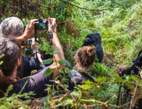 Why Uganda Gorilla Trek Safari Memories Stay With You Long after You Have Left!