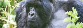 Uganda Rwanda Gorilla trekking Safari 8 days