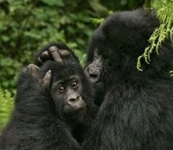 gorilla tours and safaris -uganda