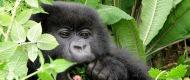 gorilla-trek (1)