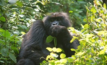 Gorilla trekking Safari Tour 8 days uganda tour
