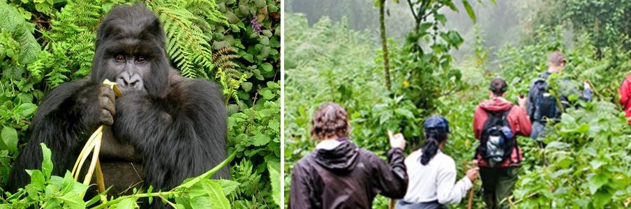 gorilla-trekking-in-bwindi uganda safari