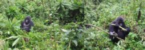 gorilla-trekking-rwanda-volcanoes