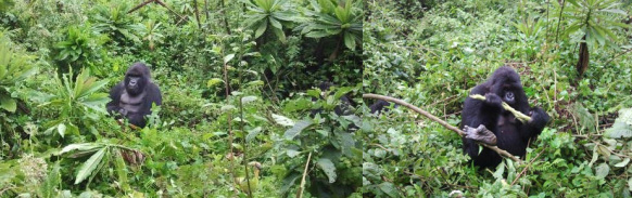 1 Day Gorilla Trek Rwanda, 1 Day Rwanda Gorilla Safari Tour