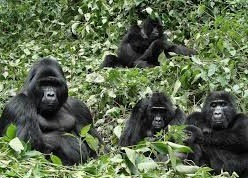 gorilla trekking safaris and tours