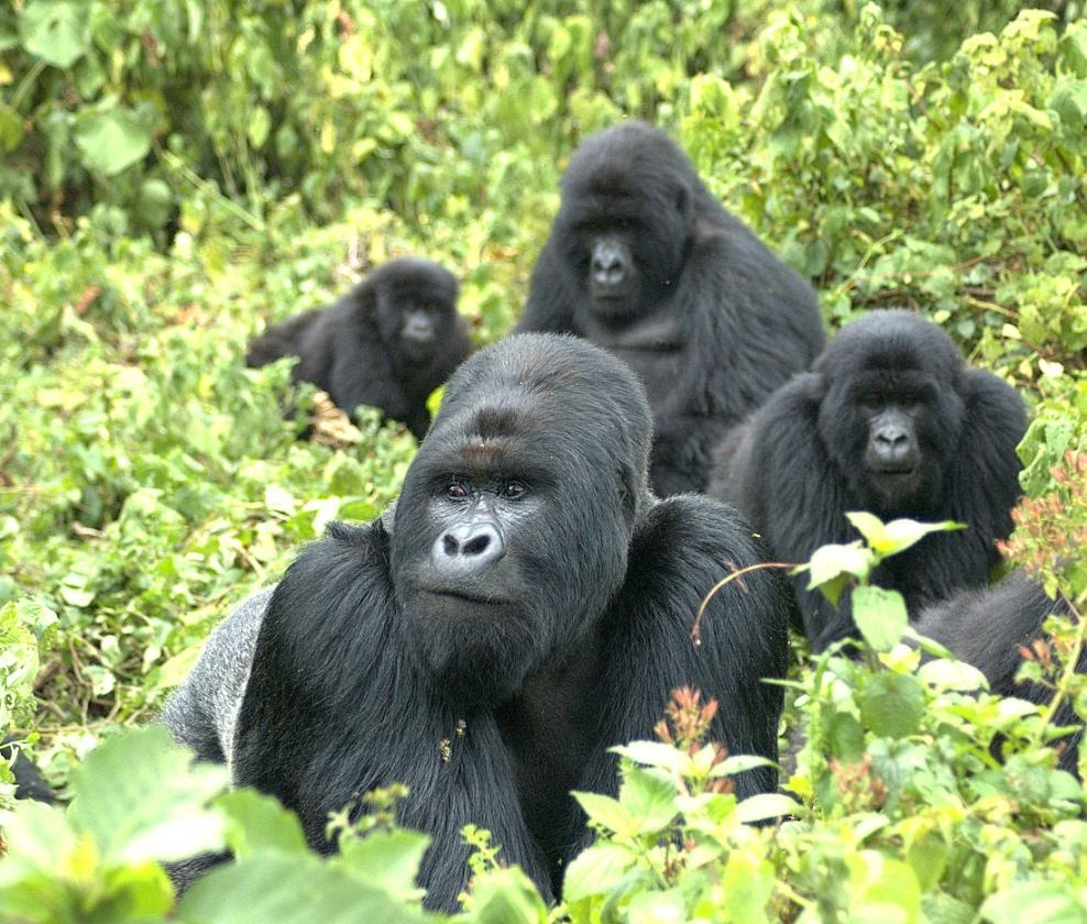 gorilla uganda-canadian