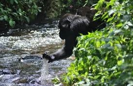 gorilla & water