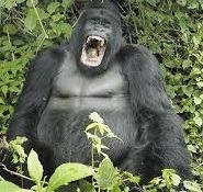 mountaiin gorilla