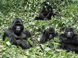 bwindi gorilla family