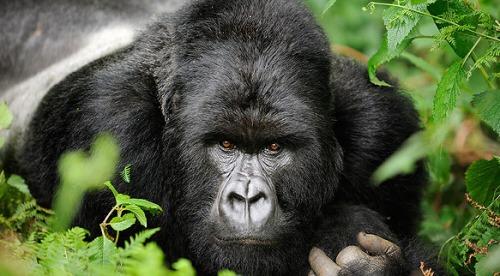 A Rwanda gorilla