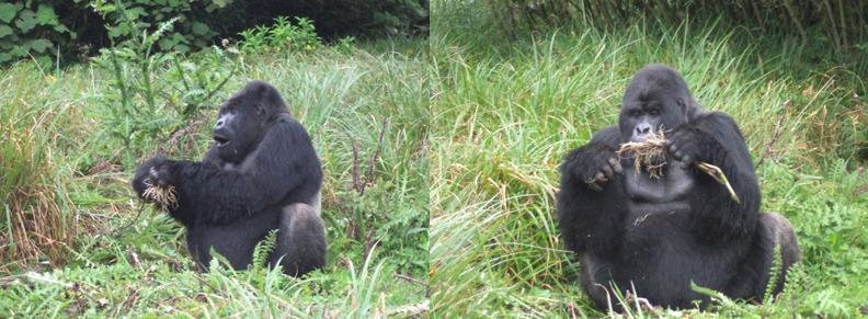 gorillas-in-rwanda