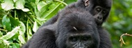 gorillas-uganda safari