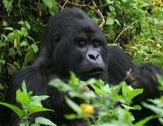 mountain gorillas