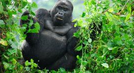 Why Visit Uganda-Gorilla in Bwindi Impenetrable National Park