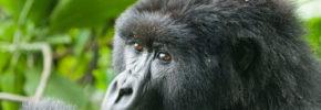 A Gorilla feeding in Mgahinga National Gorilla Park