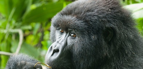 A Gorilla feeding in Mgahinga National Gorilla Park
