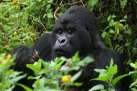 mountain gorilla in Rwanda