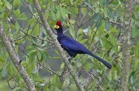 great blue turaco bird