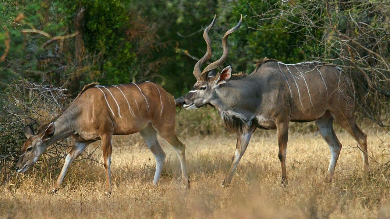greater kudu , uganda tours